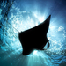 Mantas - Photo (c) Henry Jager, some rights reserved (CC BY-NC-ND)