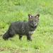 Zorro Chilote - Photo (c) Kevin Schafer, algunos derechos reservados (CC BY-NC-ND)