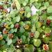 Fuchsia procumbens - Photo (c) colinmeurk, algunos derechos reservados (CC BY-SA), uploaded by Colin Meurk