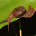 Stanisicarion freycineti - Photo (c) juliegraham173, algunos derechos reservados (CC BY-NC)