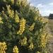 Lupinus arboreus - Photo (c) Tiffany Theden, algunos derechos reservados (CC BY-NC)