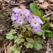 Violet Woodsorrel - Photo (c) walkmic, some rights reserved (CC BY-NC)