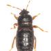Dimorphopterus doriae - Photo (c) Olli Pihlajamaa, algunos derechos reservados (CC BY-NC)