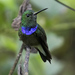 Purple-chested Hummingbird - Photo (c) Steven Easley, some rights reserved (CC BY-NC)