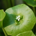 Miner's Lettuce - Photo (c) enbodenumer, some rights reserved (CC BY-NC-SA)