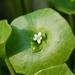 Claytonia perfoliata - Photo (c) enbodenumer,  זכויות יוצרים חלקיות (CC BY-NC-SA)