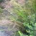 Baloskion tetraphyllum - Photo (c) juliefielder, μερικά δικαιώματα διατηρούνται (CC BY-NC)