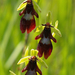 Ophrys insectifera - Photo (c) Anne SORBES,  זכויות יוצרים חלקיות (CC BY-NC-SA)