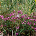 Thymus pulegioides - Photo (c) Yuliya Titulenko, algunos derechos reservados (CC BY-NC-ND)