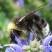 Bombus occidentalis - Photo (c) John Kolts,  זכויות יוצרים חלקיות (CC BY-NC)