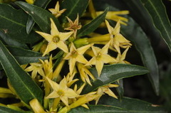Green Cestrum - Photo (c) aacocucci, some rights reserved (CC BY-NC)
