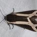 Polilla Tigre de Las Cruces - Photo (c) aacocucci, algunos derechos reservados (CC BY-NC)