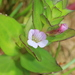 Austral Brooklime - Photo (c) Graham Zemunik, some rights reserved (CC BY-NC)