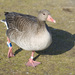 Grey Geese - Photo (c) Diego Delso, some rights reserved (CC BY-SA)