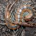 Scolopendra viridis - Photo (c) Kai Squires, algunos derechos reservados (CC BY-NC-SA)