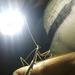 Stagmomantis domingensis - Photo (c) Joel Rojas, algunos derechos reservados (CC BY-NC)