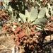 Arctostaphylos pringlei - Photo (c) rpmundo, algunos derechos reservados (CC BY-NC)