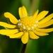 Blennosperma bakeri - Photo (c) dgreenberger, alguns direitos reservados (CC BY-NC-ND)