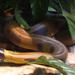 Bothrochilus - Photo (c) Tanya Dewey, algunos derechos reservados (CC BY-NC-SA)