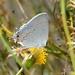 Strymon solitario - Photo (c) Robby Deans, algunos derechos reservados (CC BY-NC)