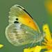 Mariposas Natalia - Photo (c) Jerry Oldenettel, algunos derechos reservados (CC BY-NC-SA)
