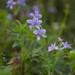 Delphinium anthriscifolium - Photo (c) Hitoshi WATANABE 渡辺仁, algunos derechos reservados (CC BY-NC)