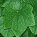 Menispermum canadense - Photo (c) Doug Goldman,  זכויות יוצרים חלקיות (CC BY-NC)