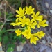 Allium scorzonerifolium - Photo (c) Pablo José González Provost, osa oikeuksista pidätetään (CC BY-NC)