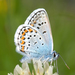 Silver-studded Blue - Photo (c) Gilles San Martin, some rights reserved (CC BY-SA)