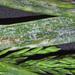 Blumeria graminis - Photo (c) Jerry Cooper,  זכויות יוצרים חלקיות (CC BY)
