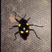 Scaphidomorphus tripunctatus - Photo (c) Sidnei Dantas, algunos derechos reservados (CC BY-NC)