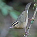 Worm-eating Warbler - Photo (c) Jerry Oldenettel, some rights reserved (CC BY-NC-SA)
