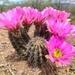 Echinocereus fendleri - Photo (c) Teresita Lasso,  זכויות יוצרים חלקיות (CC BY-SA)