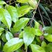 Geniostoma ligustrifolium ligustrifolium - Photo (c) bbi2, μερικά δικαιώματα διατηρούνται (CC BY-NC), uploaded by bbi2