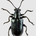 Californian Thistle Leaf Beetle - Photo (c) janet graham, some rights reserved (CC BY)