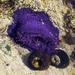 Bunodosoma - Photo (c) Peter Slingsby, osa oikeuksista pidätetään (CC BY-NC)