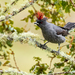 Red-crested Cotinga - Photo (c) David Monroy R, some rights reserved (CC BY-NC)