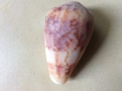 Conus anemone image
