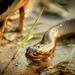 Limnophis bangweolicus - Photo (c) Ryan Weakley, algunos derechos reservados (CC BY-NC)