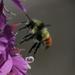 Bombus flavifrons - Photo (c) Don Sutherland,  זכויות יוצרים חלקיות (CC BY-NC)