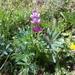 Lupinus hispanicus - Photo (c) Muriel Bendel, algunos derechos reservados (CC BY-NC)