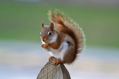 American Red Squirrel - Photo (c) DaPuglet, some rights reserved (CC BY-SA)