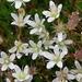 Saxifraga bronchialis - Photo (c) Laurel F,  זכויות יוצרים חלקיות (CC BY-SA)