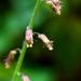 Millonaria - Photo (c) Brent Miller, algunos derechos reservados (CC BY-NC-ND)