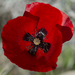Common Poppy - Photo (c) Anna N Chapman, some rights reserved (CC BY)