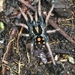Pumpkin Patch Tarantulas - Photo (c) alcedo77, some rights reserved (CC BY-NC)