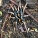 Hapalopus - Photo (c) alcedo77, algunos derechos reservados (CC BY-NC)