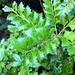 Phyllocladus trichomanoides - Photo (c) bbi2, μερικά δικαιώματα διατηρούνται (CC BY-NC), uploaded by bbi2