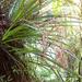 Astelia solandri - Photo (c) bbi2, some rights reserved (CC BY-NC), uploaded by bbi2