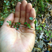 Coprosma tenuicaulis - Photo (c) bbi2, algunos derechos reservados (CC BY-NC), uploaded by bbi2